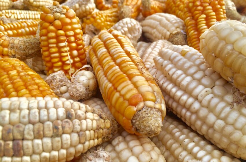 Eswatinis' white maize imports up by 110%