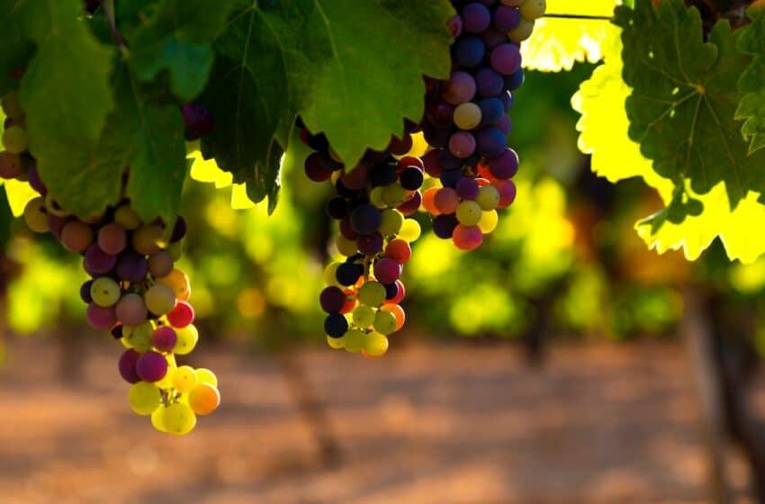 Tanzanian government to improve grape farming to boost the wine market
